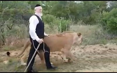 ZAKA head Yehuda Meshi-Zahav walks with lions in South Africa, November 15, 2017. (Screen capture: Twitter)