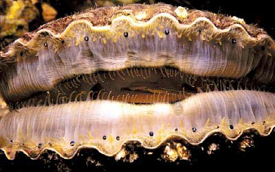 Scallop eyes (Public domain, Wikimedia Commons)