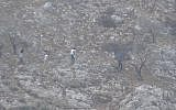 Illustrative. Israeli settlers uproot Palestinian olive trees adjacent to the village of Kalil on September 15, 2017. (Yesh Din)