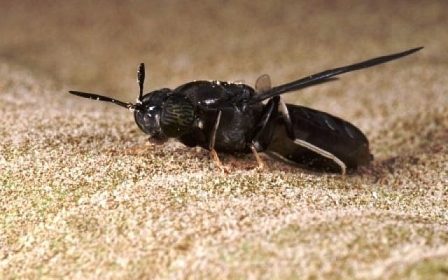 A black soldier fly. (Courtesy BioBee Biological System)