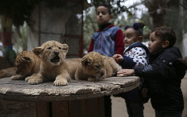 Palestinian children stand near two-month-old lion cubs at the zoo in Rafah, Gaza Strip, Friday, Dec. 22, 2017.  (AP Photo/Adel Hana)