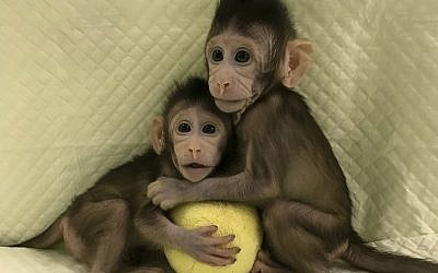 In this undated photo provided by the Chinese Academy of Sciences, cloned monkeys Zhong Zhong and Hua Hua sit together with a fabric toy. (Sun Qiang and Poo Muming/Chinese Academy of Sciences via AP)