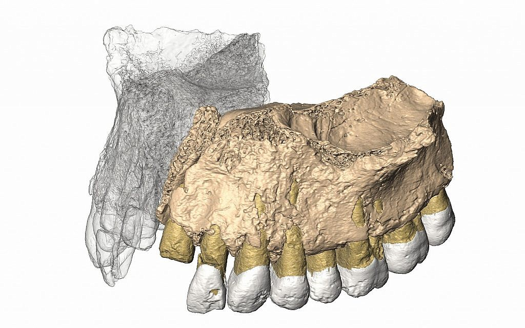 Reconstructed maxilla from micro CT images of the 177,000 to 194,000-year-old maxilla (upper jaw) of Misliya-1 hominin. (Gerhard Weber, University of Vienna, Austria)