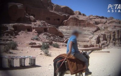 Screen capture of a donkey rider whipping the animal, at the ancient city of Petra, Jordan. (Courtesy PETA)