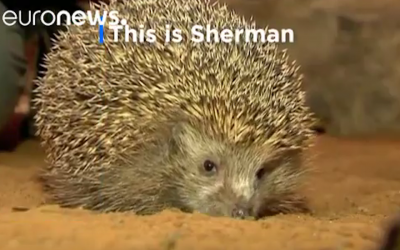 Sherman is among a group of 10 Israeli hedgehogs that had to go on a diet after overeating. (Screenshot from euronews via YouTube)