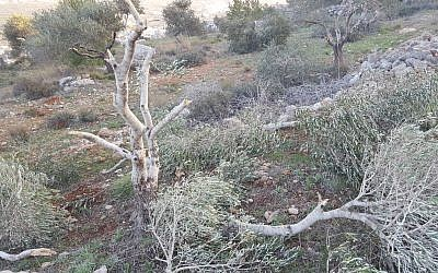 An olive tree outside the Palestinian village of Hawara that was uprooted by settlers from nearby Yitzhar on January 13, 2018. (Zacharia Sadeh/Rabbis for Human Rights)