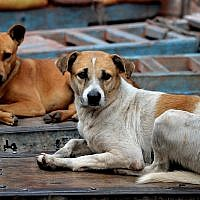 Illustrative: Stray dogs. (JDMaddox/ iStockphoto, Getty Images)