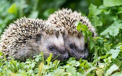 Illustrative image of a pair of hedgehogs. (iStock)