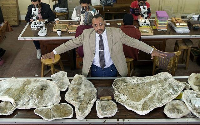 Hesham Sallam, head of Mansoura university's Center for Vertebrate Paleontology, displays bones of a Cretaceous period dinosaur in Mansoura, Egypt, February 3, 2018. (AP Photo/Amr Nabil)