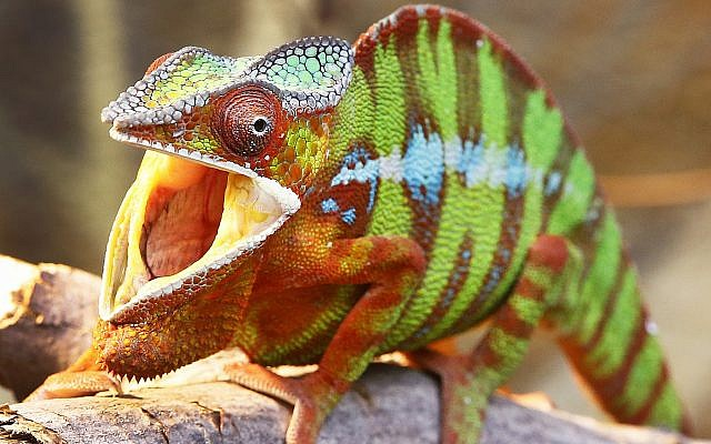 A panther chameleon opens the mouth in its enclosure in a zoo in Frankfurt, Germany, May 5, 2017. (AP Photo/Michael Probst)