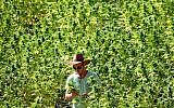 Illustrative: A worker tends to cannabis plants at a growing facility for the Tikun Olam company near the northern city of Safed, August 31, 2010.  (Abir Sultan/Flash 90)
