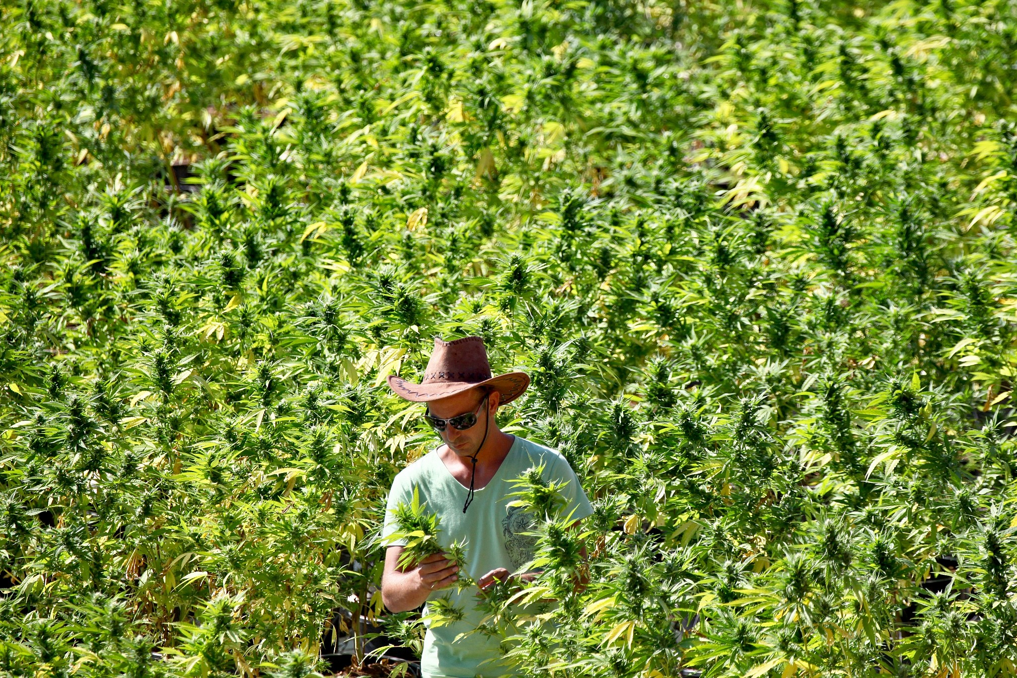 Illustrative A worker tends to cannabis plants at a growing facility for the Tikun Olam company near the northern city of Safed