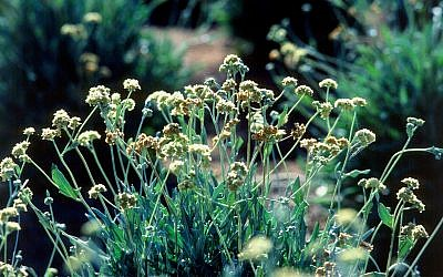 The guayule plant (CC BY 2.0, Jack Dykinga for the US Department of Agriculture, Flickr)