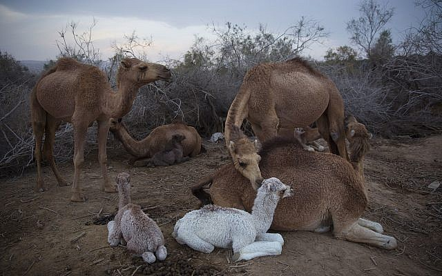 Camels rest at the night camp after grazing in the open all day near Kibbutz Kalya, in the West Bank, February 9, 2018. (AP Photo/Oded Balilty)
