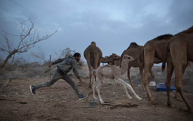 A Bedouin camel herder runs after a newborn camel on the way back to night camp near Kibbutz Kalya in the Dead Sea area, January 22, 2018. (AP Photo/Oded Balilty)