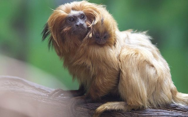 A golden lion tamarin monkey holds its newly born baby at a zoo in Jerusalem, Thursday, March 22, 2018. Golden lion tamarins are among the rarest animals in the world, according to the World Wildlife Fund. It is listed as endangered according to the International Union for Conservation of Nature. (AP Photo/Sebastian Scheiner)