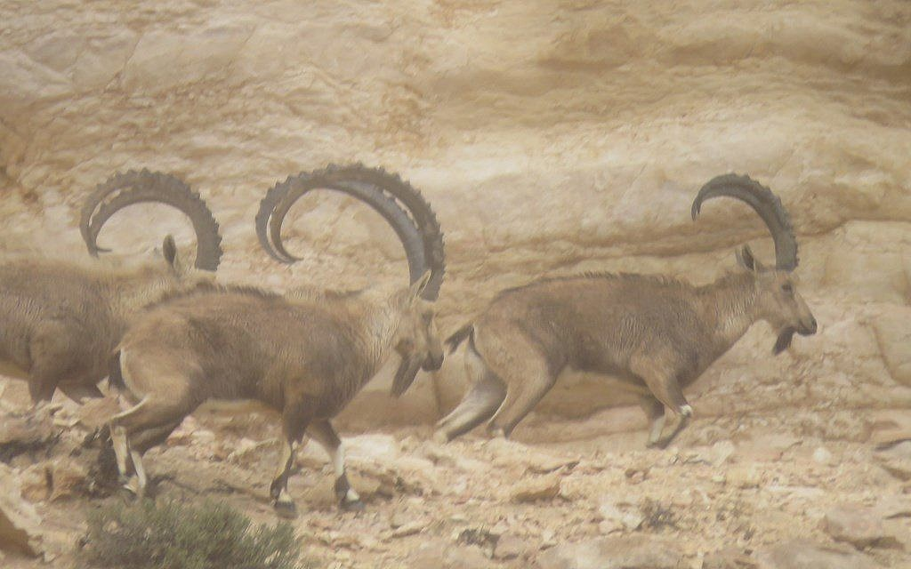 Ibex race along in the Negev where a newly discovered section of the ancient Spice Route was uncovered, February 2018. (courtesy)