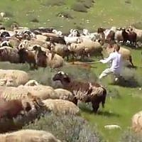 Ta'ayush activists film a settler siccing his pit bull on the sheep of a Palestinian shepherd, which he claimed had encroached on his land. (Screen capture/Ta'ayush)