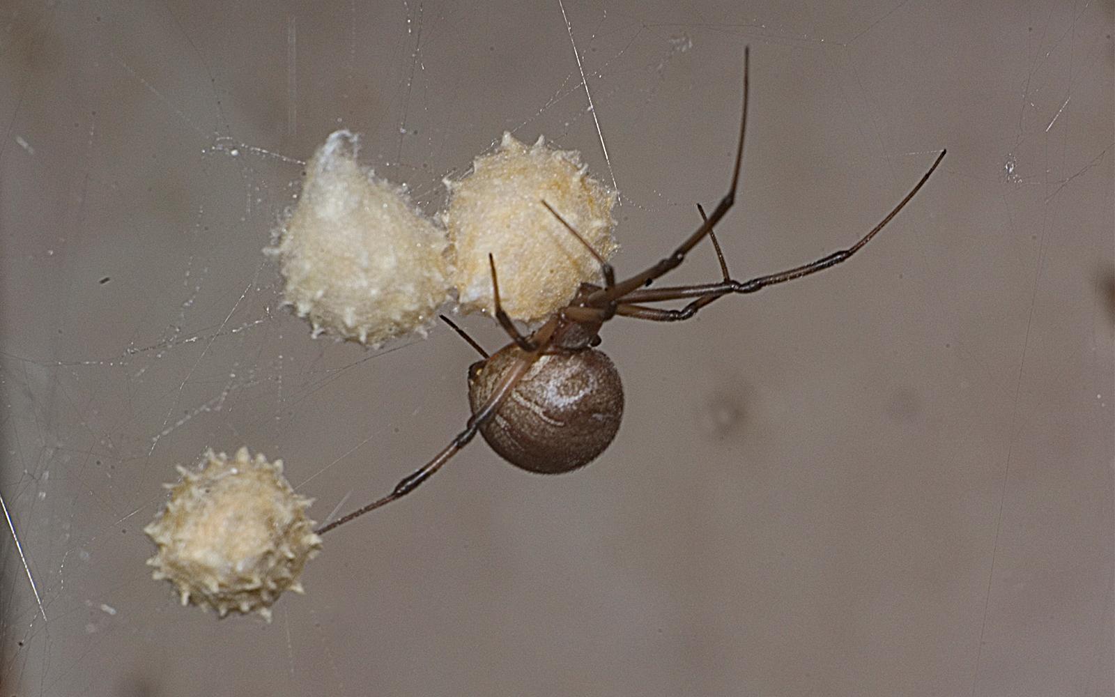 Israeli study: Male brown widow spiders prefer females who