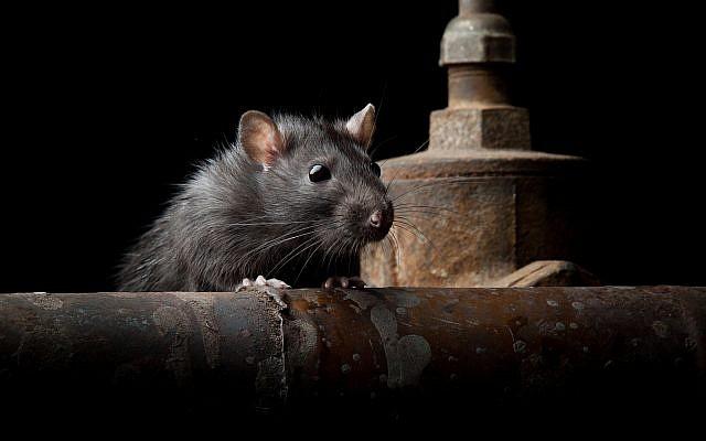 Illustrative: A rat ( anatolypareev/iStock)