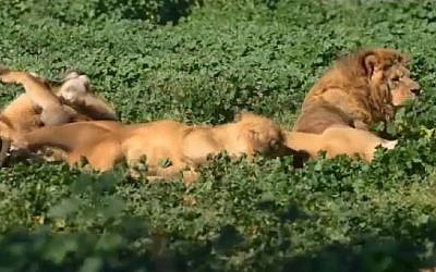 Lions at the Ramat Gan Safari near Tel Aviv display their natural instincts by rolling around in ground coffee. Screenshot)