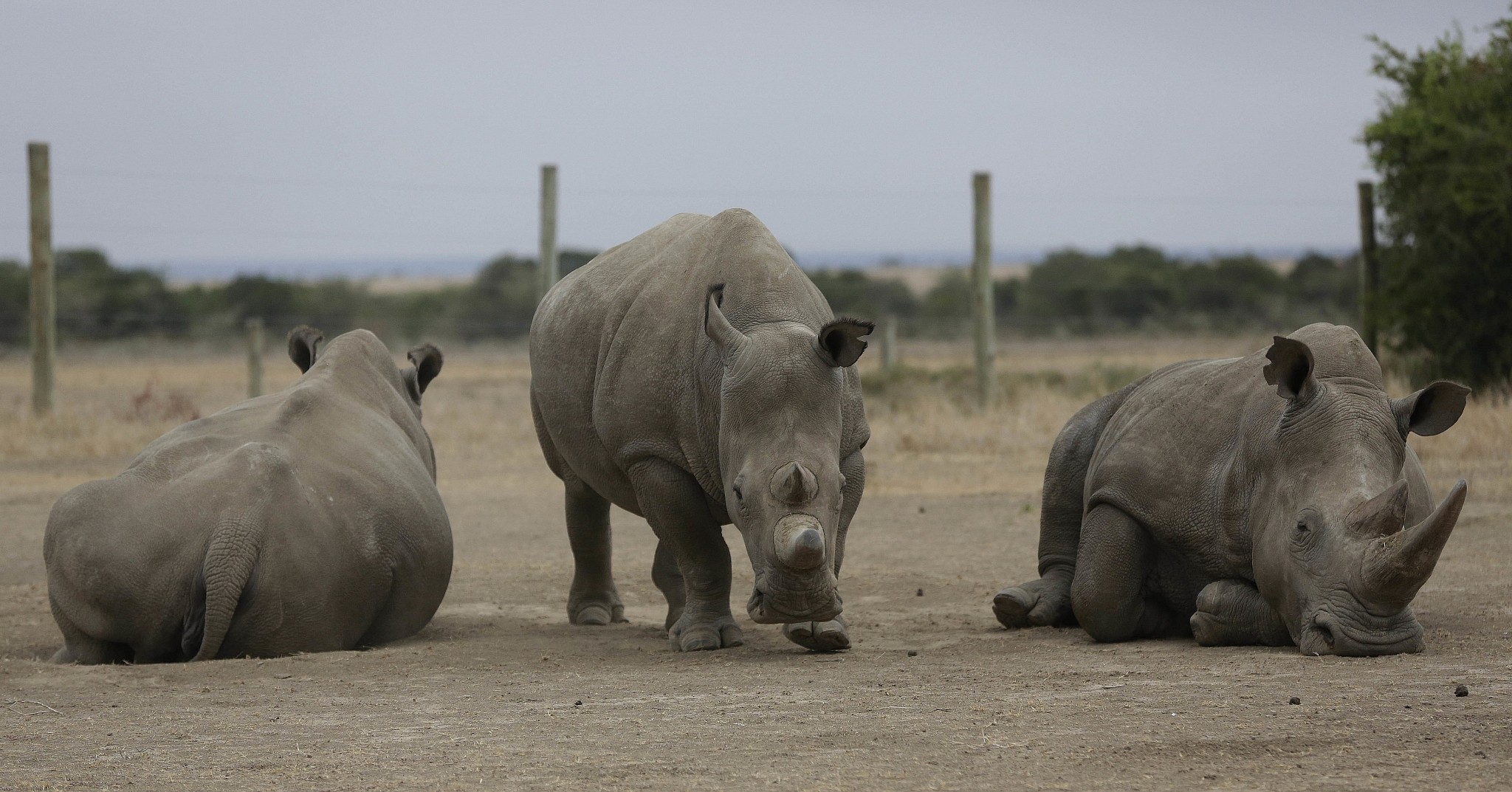 Sudan, the world's last male northern white rhino, dies from 'age-related complications'