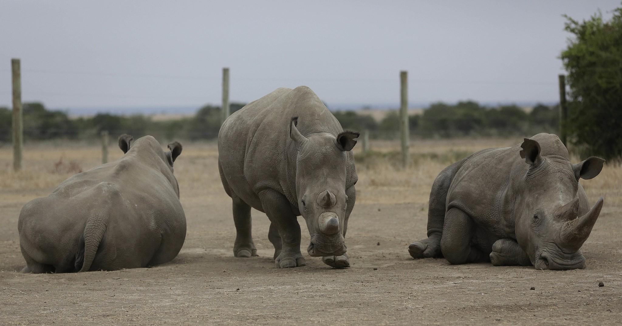 Last male northern white rhino dies in Kenya | The Times of