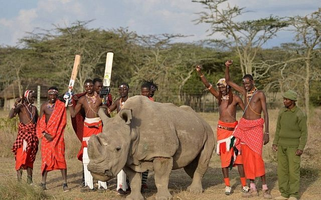 Maasai warriors pose with Sudan, the last male northern white rhino sub-species on the planet, on June 18, 2017. Sudan's death was announced on March 20, 2018.  (AFP PHOTO / TONY KARUMBA/File)
