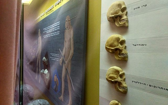 Skulls and models of humans in early stages of evolution in an exhibit at the Natural History Museum in Jerusalem, which has been blocked from view with a pink sheet, in April 2018. (Michael Bachner/Times of Israel)