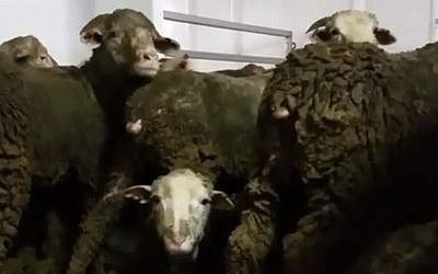 Undated image of sheep bound for the meat industries of the Middle East from Australia are so overcrowded that they are forced to stand, covered in excrement, for the more than three week journey by sea. (Screen capture: Hadashot news)
