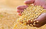 Illustrative image of soybeans in a farmer's hands (fotokostic, iStock by Getty Images)