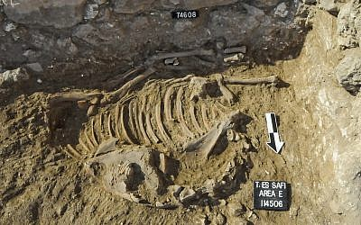 A skeleton of a donkey dating to the Early Bronze Age III (approximately 2700 BCE) found at the excavations of the biblical city Gath. (Tell es-Safi/Gath Archaeological Project)
