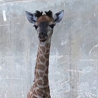 A baby giraffe, named Toy, born at the Jerusalem Biblical Zoo, May 12, 2018. (Yaara Forest Tamari)