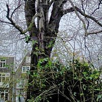 Original Anne Frank Chestnut Tree. (CC BY  huliana90212, Wikimedia Commons)