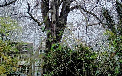 Original Anne Frank Chestnut Tree. (CC BY  huliana90212, Wikimedia Commons)