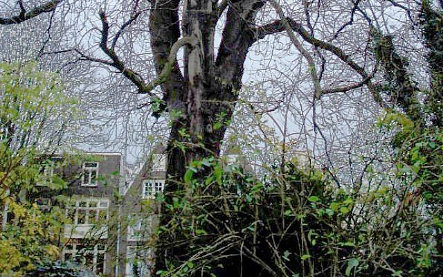 e67a014000834 Original Anne Frank Chestnut Tree. (CC BY huliana90212, Wikimedia Commons)