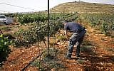 A vineyard owner near the West Bank settlement of Shiloh inspects damage to his vineyard from suspected Palestinian arsonists, May 27, 2018. (Courtesy Yesha Council)