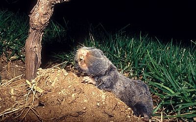 The Middle East blind mole-rat or Palestine mole-rat, Nannospalax ehrenbergi or Spalax ehrenbergi. (Bassem18, CC-BY-SA, via wikipedia)
