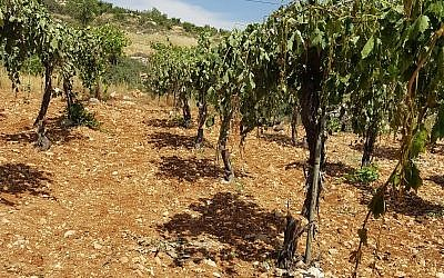 A Palestinian vineyard near Hebron where some 400 grape vines were chopped down in an apparent hate crime attack on May 16, 2018. (B'Tselem)