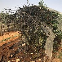 A cherry tree torched in an apparent hate crime attack in the settlement of Kfar Etzion on May 23, 2018. (Yaron Rosenthal/Kfar Etzion Field School)