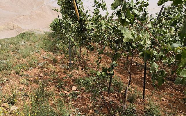 A Palestinian vineyard near Ramallah targeted in an apparent hate crime attack on May 29, 2018. (Iyad Haddad/B'Tselem)
