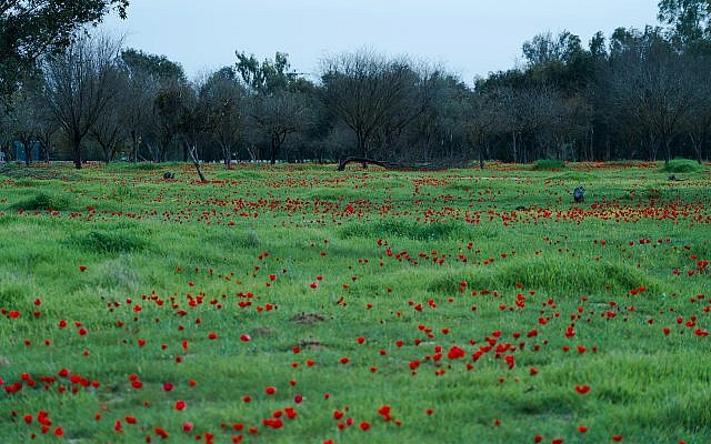 Anemone flowers bloom in the Be'eri Nature Reserve, February 6, 2018. (Luke Tress/Times of Israel)