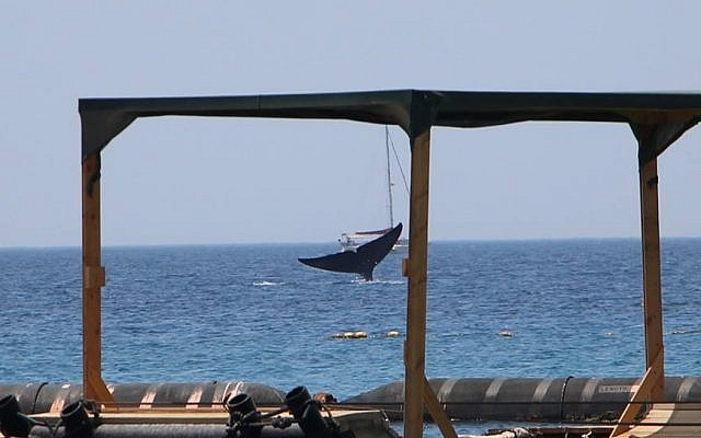 A rare blue whale seen off the coast of Eilat on May 29, 2018. (Nature and Parks Authority, courtesy)