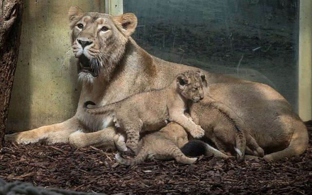 Illustrative: A lion mother with her cubs at the zoo in Frankfurt am Main, western Germany, on May 30, 2018. (AFP Photo/dpa/Boris Roessler)