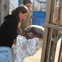 Nature and Parks Authority representatives handle a sea turtle after it was attacked and abused on a beach, 2009 (Courtesy Nature and Parks Authority)