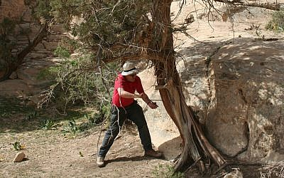 Sturt Manning coring an example multi-century old Juniperus phoenicea tree near Petra in southern Jordan of the type employed in the Taybet Zaman buildings. (Sturt Manning, Cornell University)