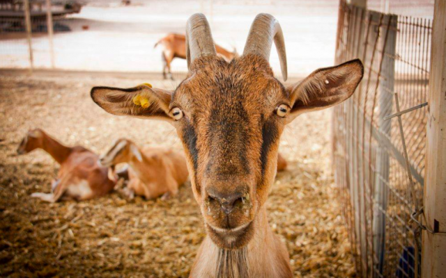 The Offaim brothers first used Alpine goats for their cheeses, and are now switching to a Spanish goat, after much of their herd was stolen and died (Courtesy Ofaimme)