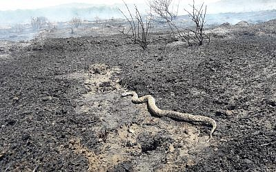 A viper snake that was killed during a fire in southern Israel sparked by an incendiary balloon launched from the Gaza Strip on July 29, 2018. (Israel Fire and Rescue Services Southern District)