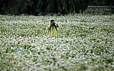 A man takes a photo in a buckwheat flower field in Seoul, South Korea. (AP Photo/Lee Jin-man, File)