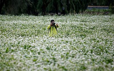 A man takes a photo in a buckwheat flower field in Seoul, South Korea. (AP Photo/Lee Jin-man, File)